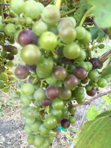 Kansas Chambourcin grapes entering veraison at Prairie Fire Winery